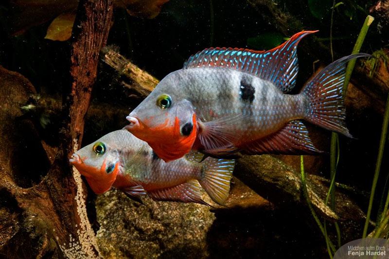 DaffodilCichlid also Oscar Tanks as well Oscar fish in addition Betta Fish Tank Setup Ideas That Make besides Pielegnica Meeka Thorichthys Meeki. on oscar fish mates