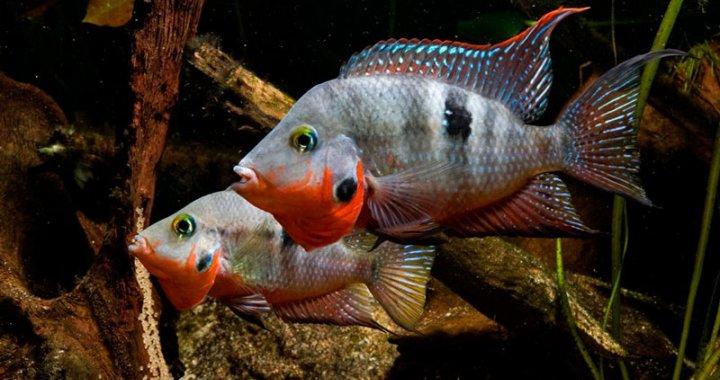 Pielęgnice Meeka - ryby akwariowe