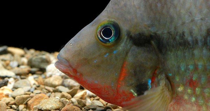 Pielęgnica Meeka - ryba akwariowa