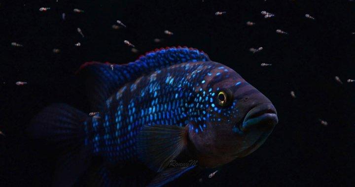 Rocio octofasciata - Pielęgnica niebieskołuska