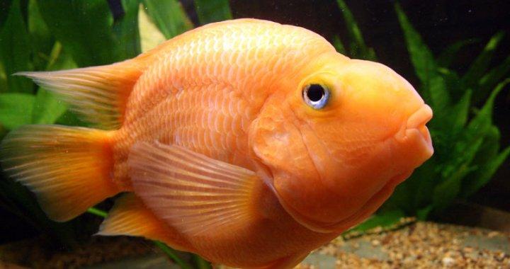 Pielęgnica papuzia - ryba akwariowa
