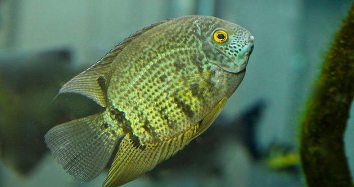 Pielęgnica severum - ryba ak
