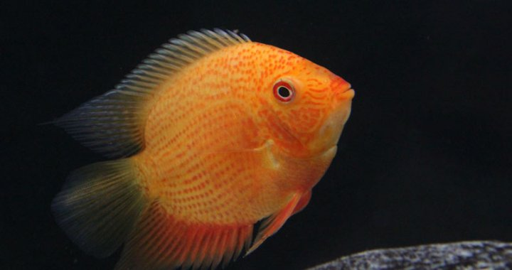 Pielęgnica severum - red spotted