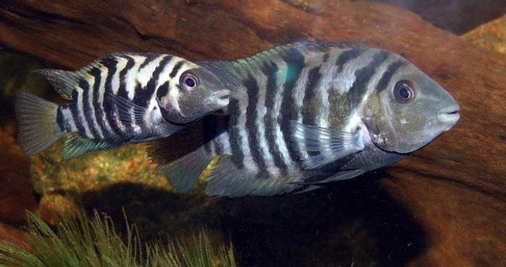 Pielęgnice Zebra - Samica Samiec