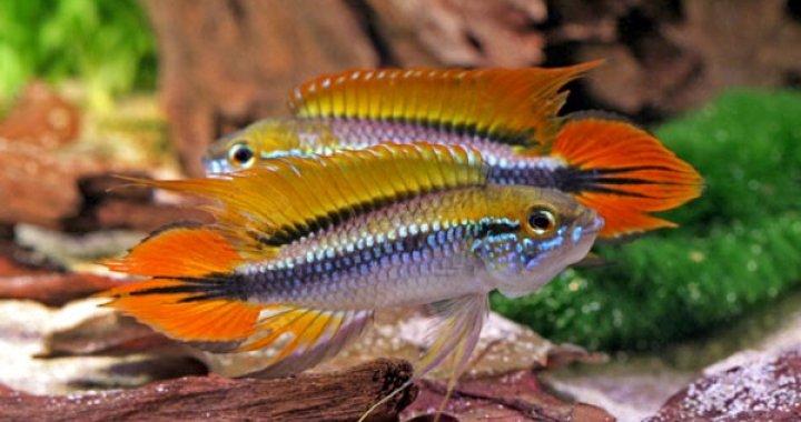 Pielęgniczki Agassiza - Pielęgnice Agassiza - ryby akwariowe