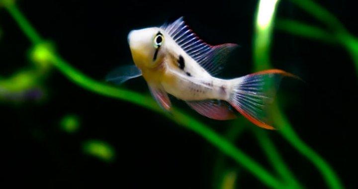 Pielęgniczka Boliwijska - Pielęgnice - ryby akwariowe