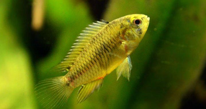 Pielęgniczka żółta - samica
