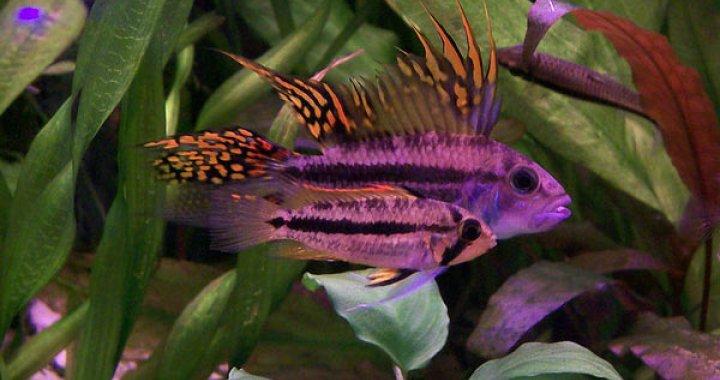 Pielęgniczka Kakadu - Pielęgnice - ryby akwariowe