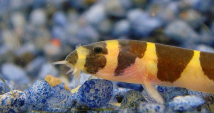 Piskorek Kuhla - ryba akwariowa