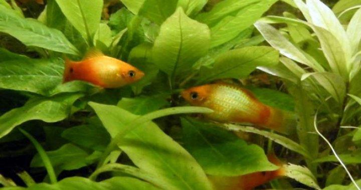 Zmienniaki ryby akwariowe, platki