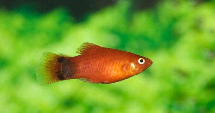 Zmienniak plamisty, Platka, ryba akwariowa