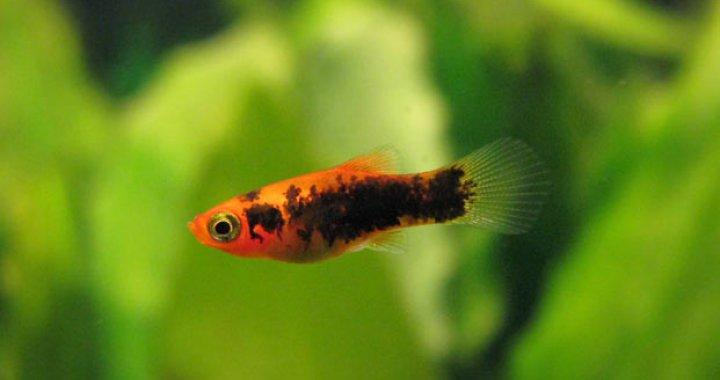 Zmienniak plamisty, Platka - ryba akwariowa