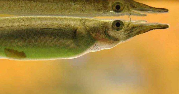 Półdziobek karłowaty - Dermogenys pusillus