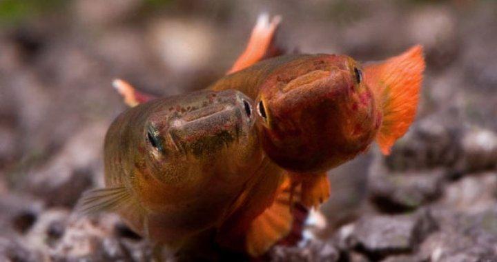Proporczykowiec z Kap Lopez