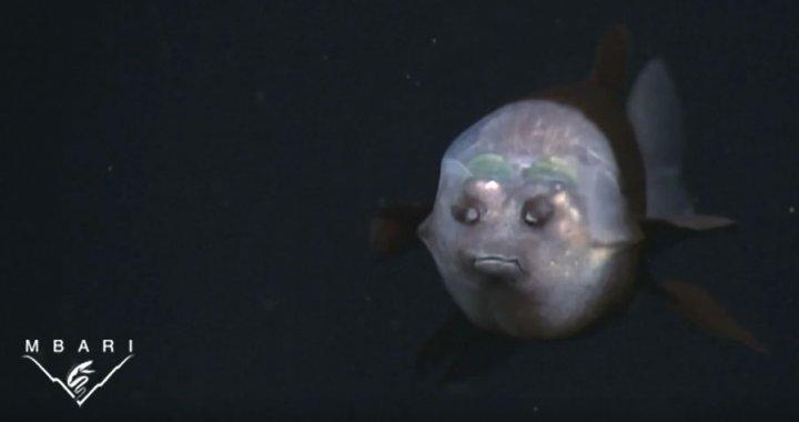 Ryba z przezroczysta głową