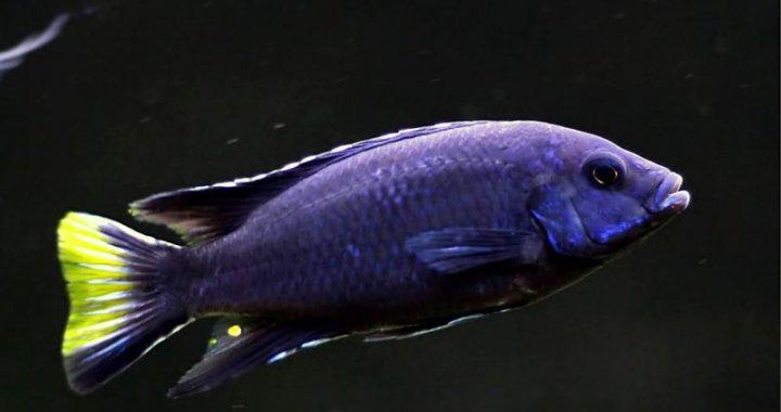 Pyszczak acei - Black Tanzania