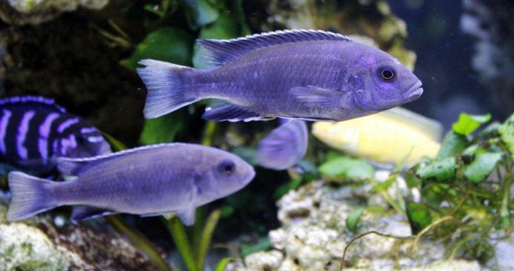 Pyszczaki acei - złotopłetwe