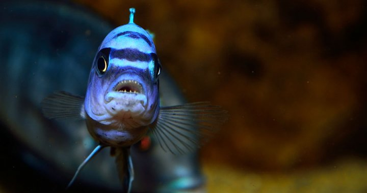 Pyszczak afra Gallerea Reef