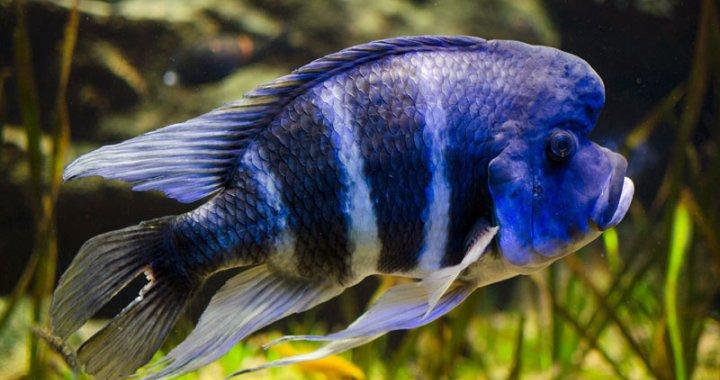 Pyszczak hełmiasty - ryba akwariowa