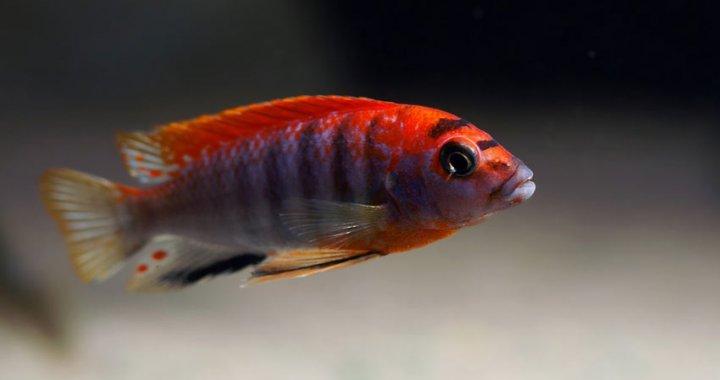 Pyszczak Hongi Red