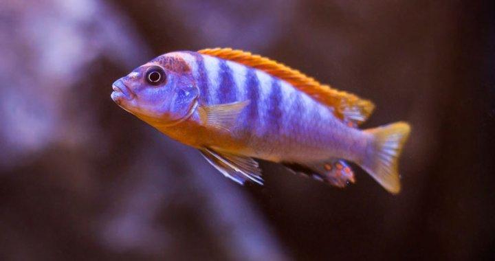 Labidochromis Hongi Kimpuma