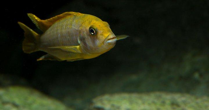 Labidochromis Hongi samica