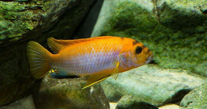 Labidochromis Hongi samiec