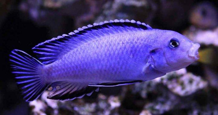 Powder Blue Cichlid
