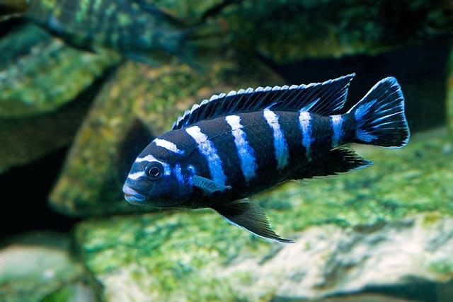 Pyszczak saulosi pyszczaki saulosa opis ryb rozmna anie for Non aggressive freshwater fish