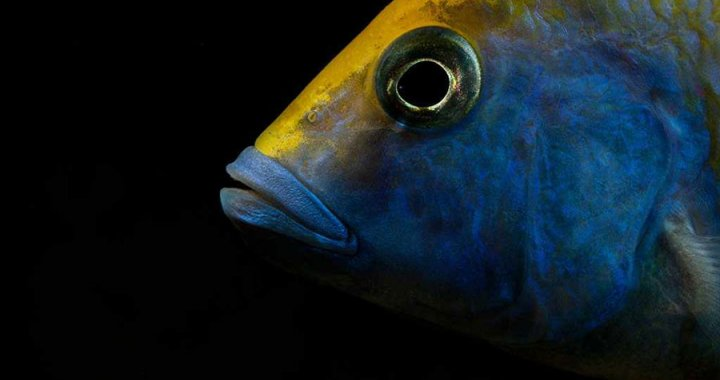 Pyszczak wspaniały - Nimbochromis venustus