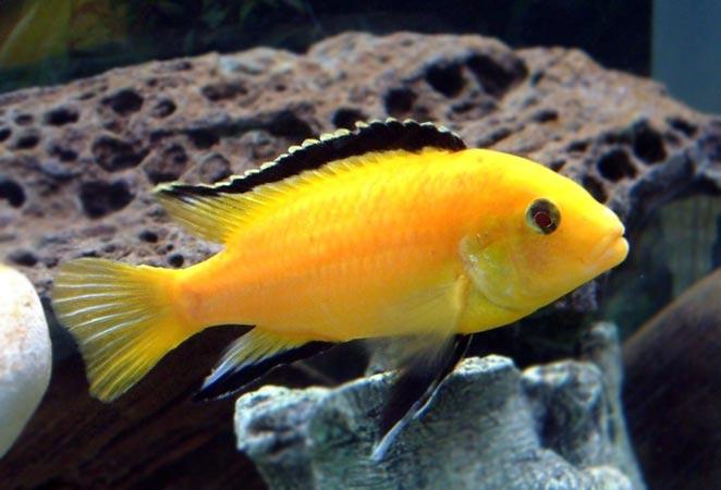 freshwater aquarium fish list species