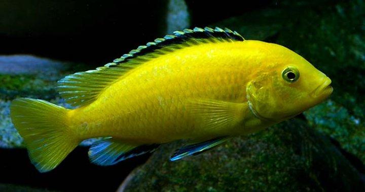 Pyszczak Żółty - Pyszczak Yellow - ryba akwariowa