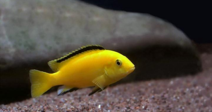Pyszczak Żółty - Pyszczaki Żółte - ryby akwariowe