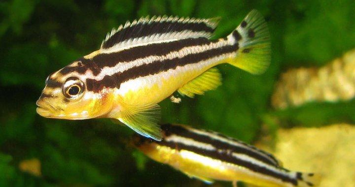 Pyszczaki złociste - ryby akwariowe