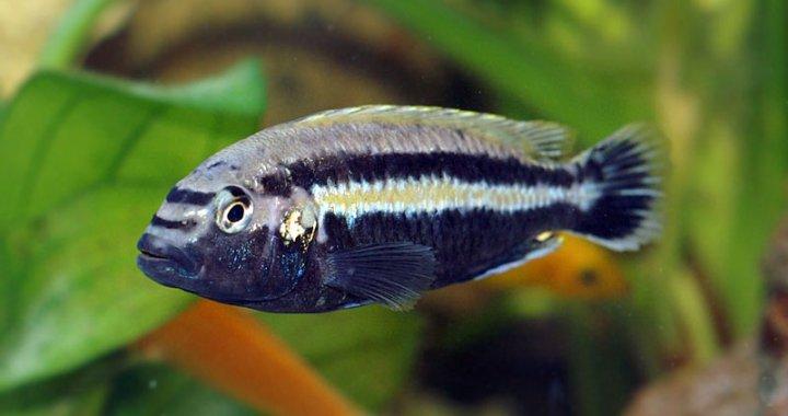 Pyszczak złocisty - ryba akwariowa