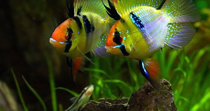 Pielegnica Ramireza - ryba akwariowa