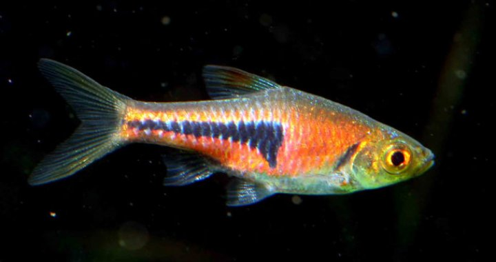 Razbora Espei - ryba akwariowa, rasbora
