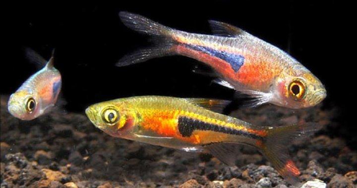 Razbory Espei - ryby akwariowe, rasboras, razbora