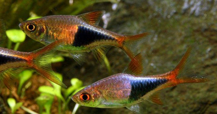 Razbory Klinowe - ryby akwariowe