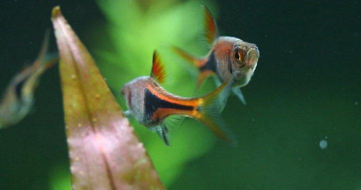 Razbora Klinowa - ryba akwariowa