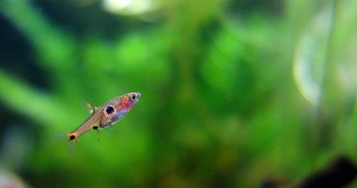 Rasbora Plamista - Boraras maculatus