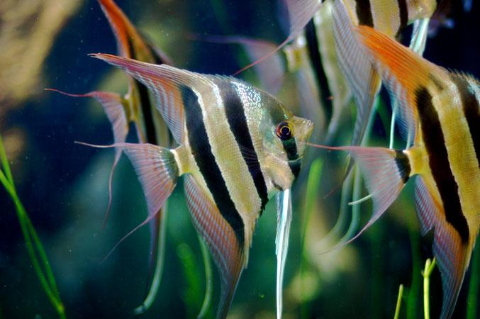 Skalar skalar aglowiec pterophyllum scalare for Skalar aquarium