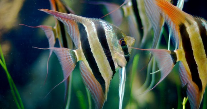 Skalary Żaglowce - Skalary - ryby akwariowe