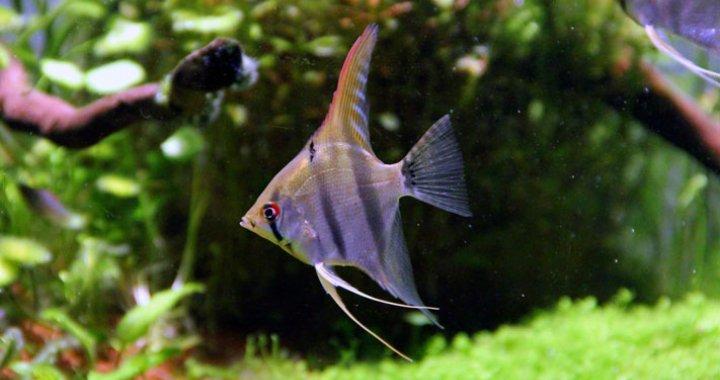 Skalar Żaglowiec - ryba akwariowa