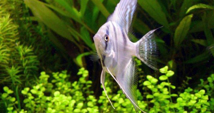 Skalar Żaglowiec - Skalary - ryba akwariowa