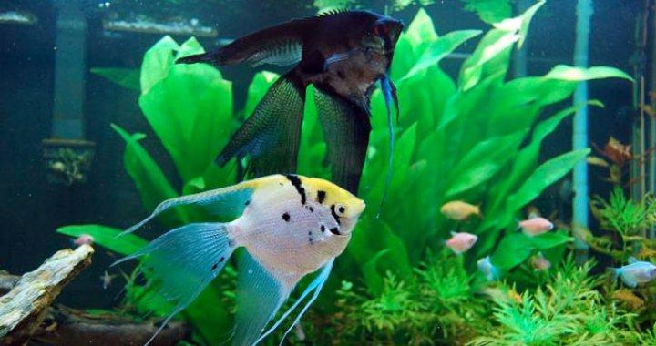 skaSkalary Żaglowce - Skalary -  ryby akwariowe