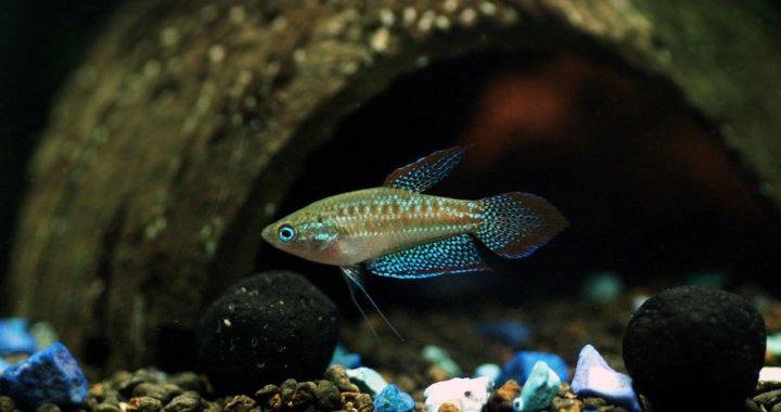 Pygmy Gourami