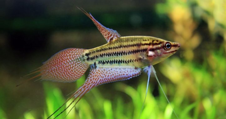 Croaking gourami