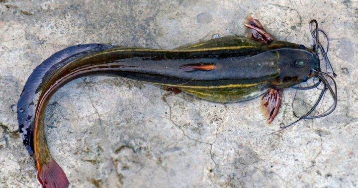 Długowąs azjatycki