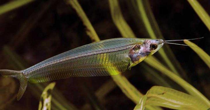 Sumik Szklisty - ryba akwariowa - Sum Szklisty